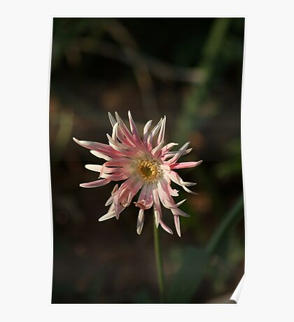 Peppermint Candy Flower Poster