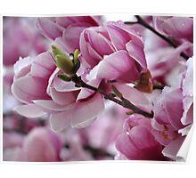 Magnolia Budding Poster