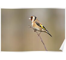 Goldfinch 1 Poster