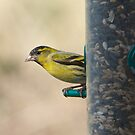 Siskin by Richard Bowler