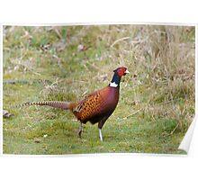 Pheasant 3 Poster