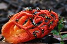 Red Cage Fungus (with Blow-Flies) by Carol Knudsen