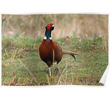 Pheasant 4 Poster