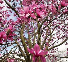 Magnificent Magnolia by Claire Haslope