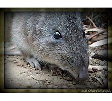 Bandicoote, Cleland Wildlife Park Photographic Print
