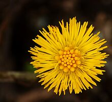 Spring's first little suns  by steppeland