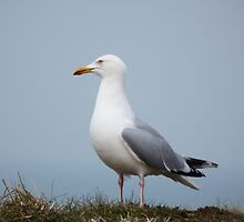 Seagull by DEB VINCENT