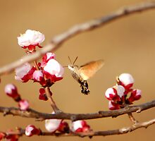apricot  blossoms with hawk moth by davvi