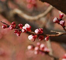 apricot garden by davvi