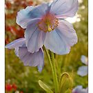 Himalayan Blue Poppy by Mike  Waldron