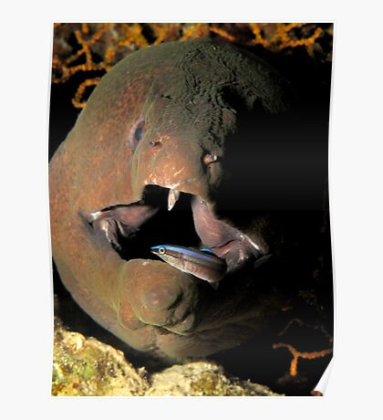 Giant moray Poster