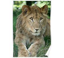 Watching You Lion Cub Poster