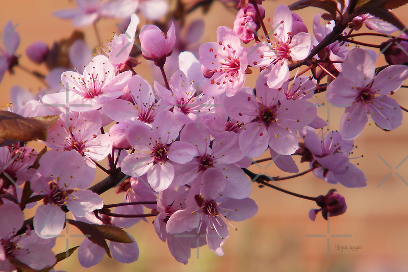 Acer Blossoms by LoneAngel