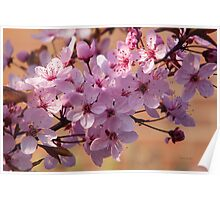 Acer Blossoms Poster
