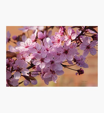 Acer Blossoms Photographic Print