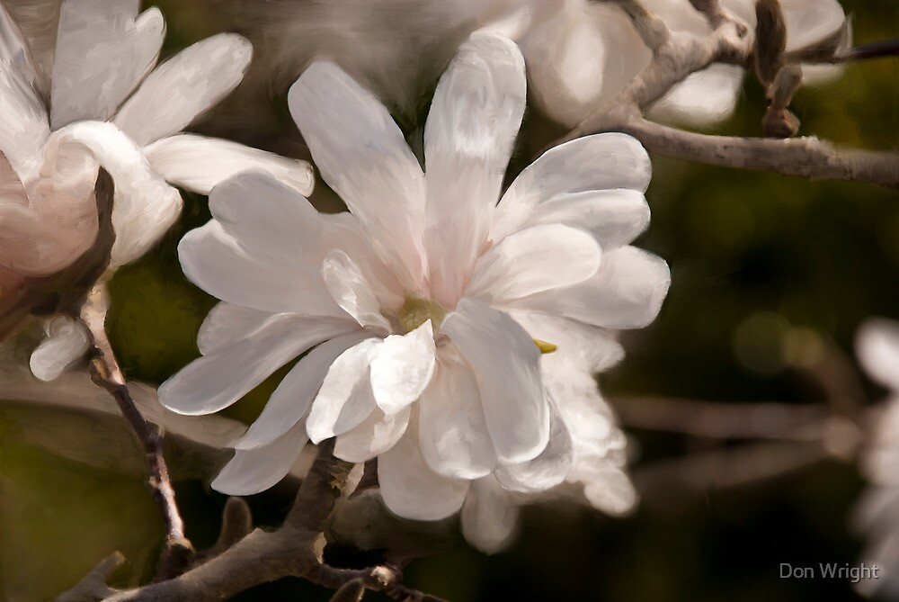 Star Magnolia Digital Painting by Don Wright
