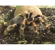 Mexican Red Knee Tarantula (Brachypelma smithii) Photographic Print