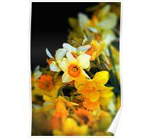 Narcissi Poster