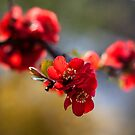 Red flowers in the morning  by SuzanAlmond