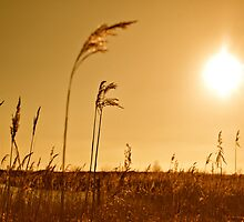 Grasses under the Sun by heatherbyrne