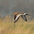 Godwit In Flight by Robert Abraham