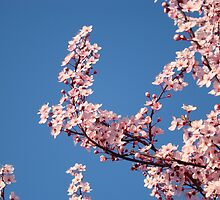 Spring Blue Sky Pink Tree Blossom Flowers Baslee Troutman by BasleeArtPrints