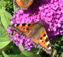 Small Tortoiseshells on a Buddleia  Sticker