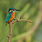 Kingfisher 2 by Nigel Tinlin