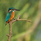 Kingfisher 2 by Nigel Tinlin