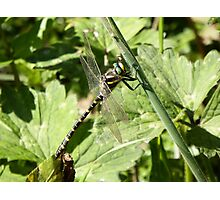 Golden Ringed Dragonfly Photographic Print