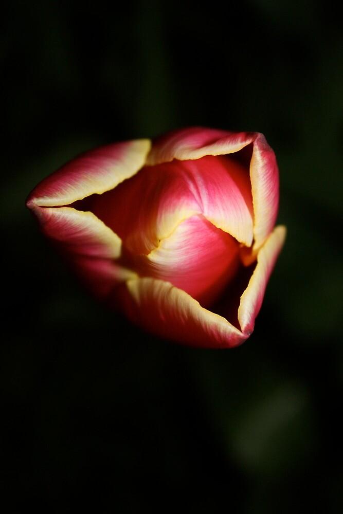 tulip by heatherbyrne