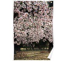 Almond tree blossoms Poster