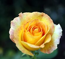 Yellow Rose by mworman