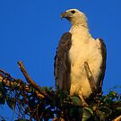 White-bellied Sea Eagle  by naturalnomad
