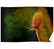 Teasel Head Poster