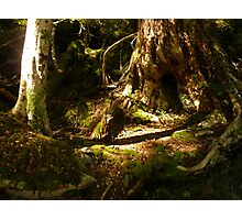 Archaic Beech Forest - Routeburn Track, Fiordland and Mount Aspiring National Parks.  Photographic Print