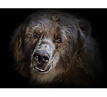 The Kodiak Bear Photographic Print