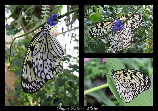 Butterfly (Asia) ~ Paper Kite by Kimberly Chadwick