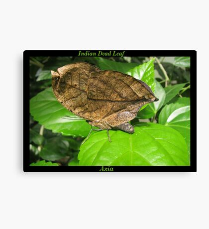 Butterfly (Asia) ~ Indian Dean Leaf Canvas Print