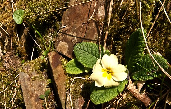 Primrose on the rocks  by Rob Hawkins