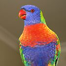 Rainbow Lorikeet by Michael Matthews