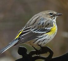 Yellow Rumped Warbler by BLemley