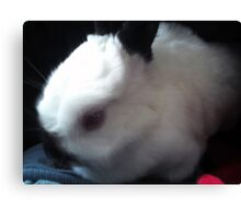 Dwarf Rabbit Canvas Print