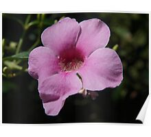 Bower of Beauty -  Pandorea jasminoides Poster