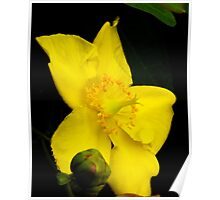 Golden Crown - Rose Garden Portland Oregon Poster
