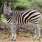 Plains Zebra by Sassie Otto