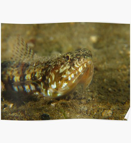 Fly Point Lizardfish Poster