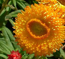 EverLasting Daisy ( StrawFlower ) by AnnDixon
