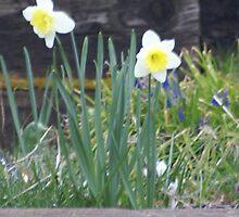 Daffodils by Loisb