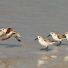 The Sanderlings by Kathy Cline